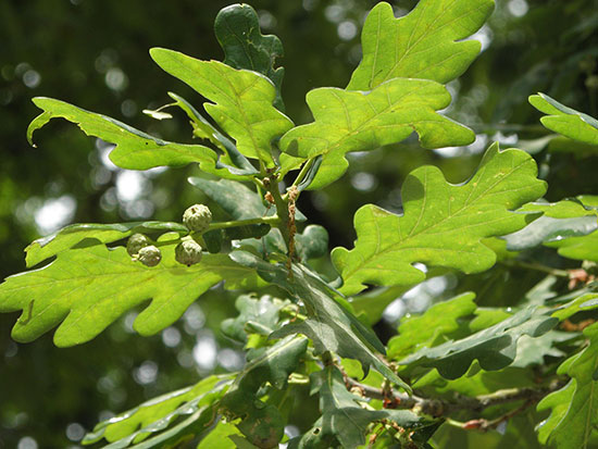 Quercus-robur-fruit